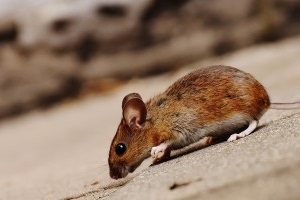 Mice Exterminator, Pest Control in Golders Green, Hampstead Garden Suburb, NW11. Call Now 020 8166 9746