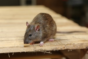Rodent Control, Pest Control in Golders Green, Hampstead Garden Suburb, NW11. Call Now 020 8166 9746